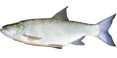 Salatis (Aspius aspius)