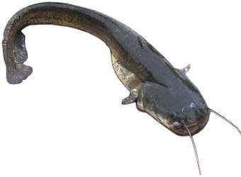 Šamas (Silurus glanis)