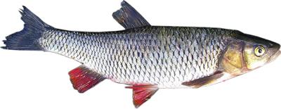 Šapalas (Leuciscus cephalus)