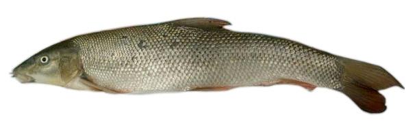 Ūsorius (Barbus barbus)